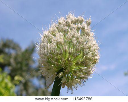 Flower Onion, Garden, Omsk Region, Siberia, Russia,