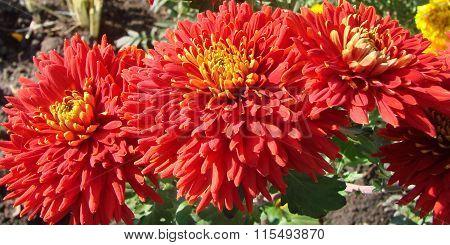Red Chrysanthemum, Garden, Omsk Region, Siberia, Russia