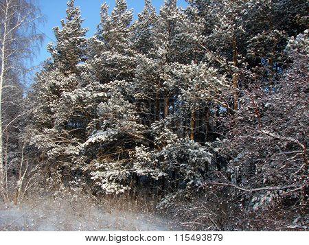 Winter Siberian Forest, Omsk Region