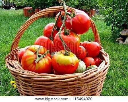 Tomatoes, Omsk Region, Siberia, Russia