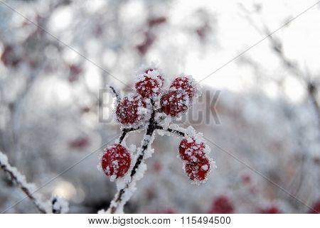 Berries Viburnum