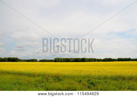 Field Of Bright Yellow Canola Or Rapeseed In Front Of A Forest, Kazakhstan, August 2011