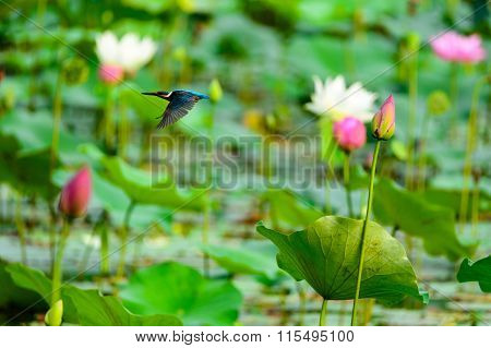 kingfisher (alcedo atthis) on the lotus flower