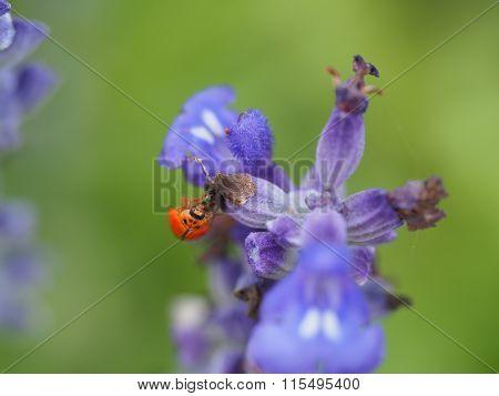 Ladybug Or Ladybird On A Flower