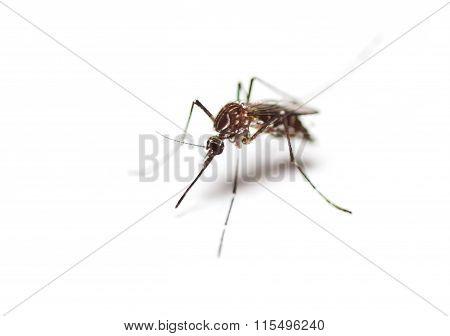 Black Culex Mosquito