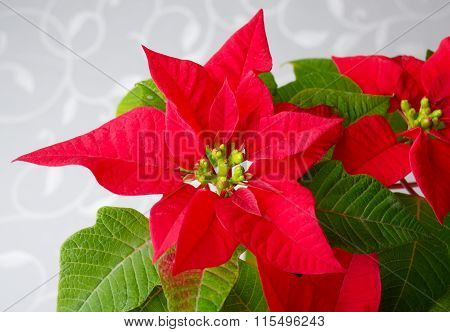 Poinsettia - Christmas Star Flower