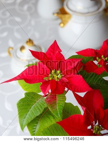Blooming Poinsettia On Holiday Table