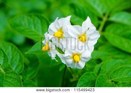 Flower Of A Potato Plant