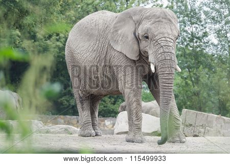 African elephant or Loxodonta africana full length portrait in relaxing pose
