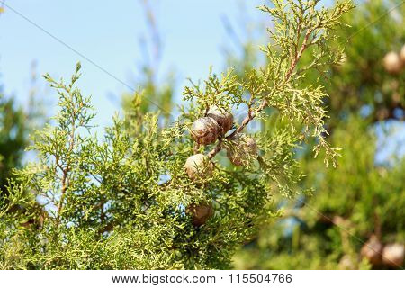 Ripe Cypress Cones On His Tree