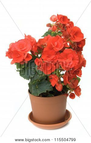 The Red Blossoming Begonia