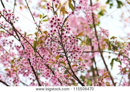 Wild Himalayan Cherry Blooming (prunus Cerasoides)