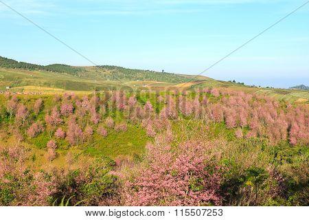 Thailand's Sakura Or Prunus Cerasoides At Phu Lom Lo Mountain, Loei , Thailand.