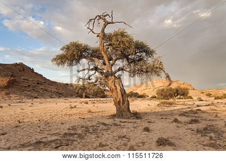 tree in a dry riverbed, Namibia