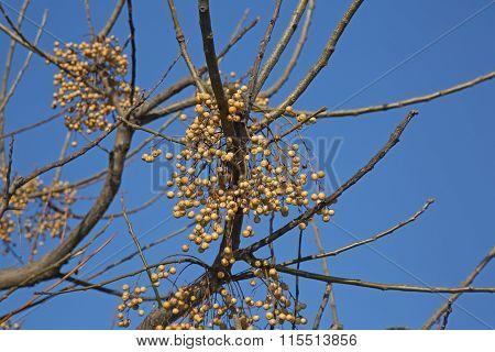 Melia Azedarach Fruits