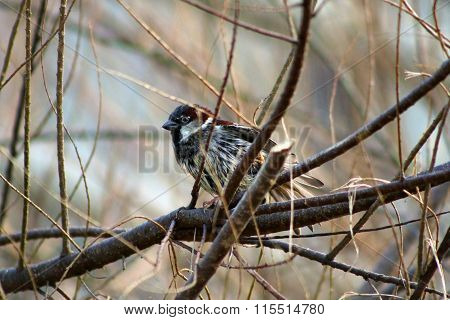 Stretching House Sparrow