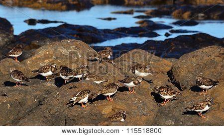Flock of turnstone birds