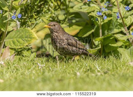 Blackbird Turdus merula female on the grass