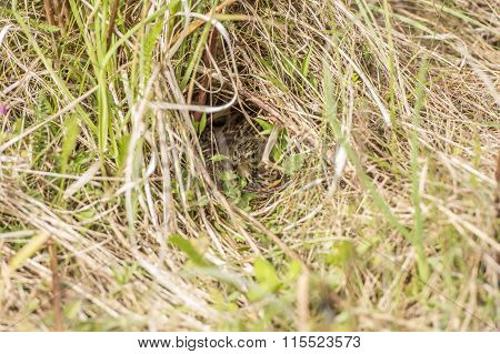 Meadow pipit in its nest in the Spring
