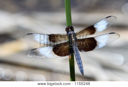 Male Widow Skimmer Dragon Fly