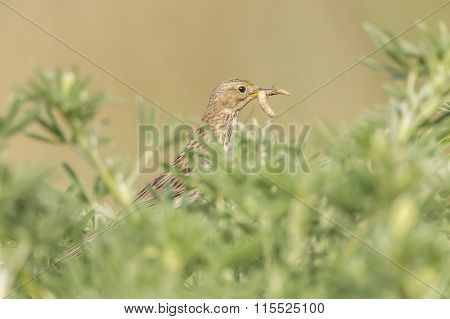 Meadow pipit perched in a bush