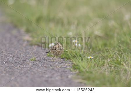 Meadow pipit, Anthus, pratensis, on the path