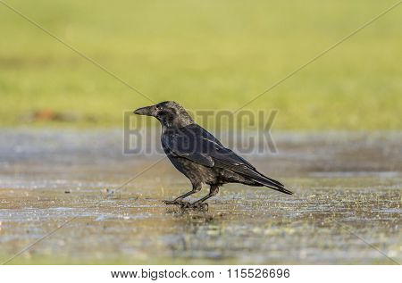 Crow Corvus corone on frosty ground in Winter time
