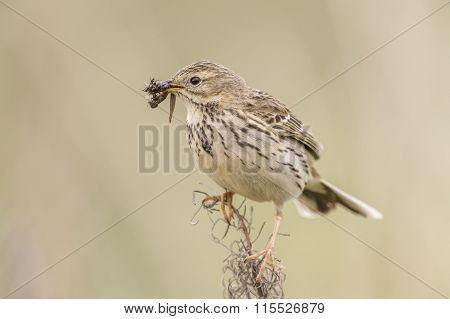 Meadow pipit perched on dry grass with bugs in its beak