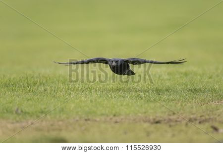 Crow Corvus corone flying over frosty ground