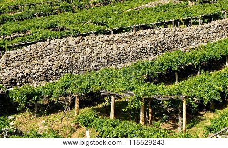 Vineyards Located In Aosta Valley With Mountains In The Background