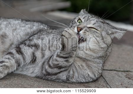 Funny grey cat licking paw
