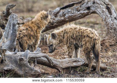 Spotted Hyaena In Kruger National Park