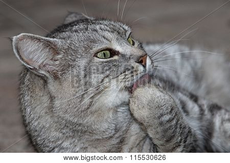 Grey striped cat licking its paw relaxing