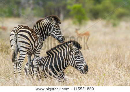 Plains Zebra In Kruger National Park