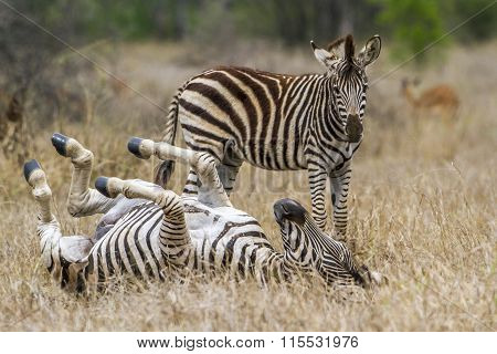 Plains Zebra playing In Kruger National Park