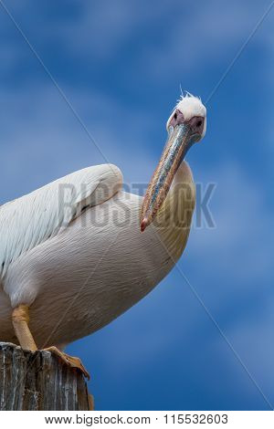 Watchful pelican