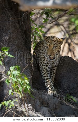 African leopard walking in shade