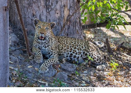African leopard in Okavango delta
