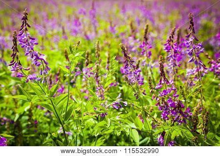 Violet Flowers A Bird Vetch