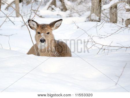 Whitetail Deer Yearling