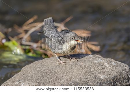 Dipper juvenile on a rock above a stream