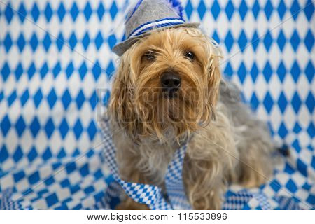 funny yorkshire Terrier, with a white blue background, oktoberfest