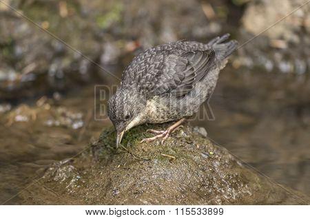 Dipper juvenile perched on a rock in a stream