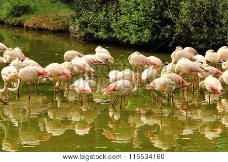 Flock Of Flamingos Standing In Pond
