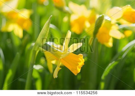 Narcissus Spring Yellow Flowers On Sunshine Glade