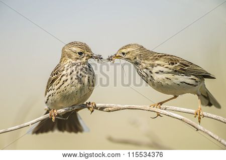 Meadow pipits, Anthus pratensis, feeding each other