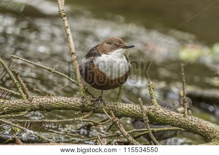 Dipper perched on a branch over a stream
