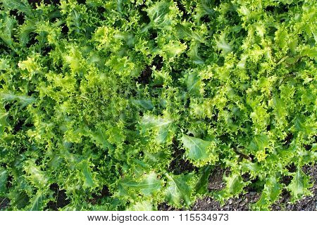 Green Salat Cichorium Endivia