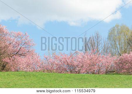 Springtime Pink Flowering Apple Trees In Blooming Nature Sunshine Landscape