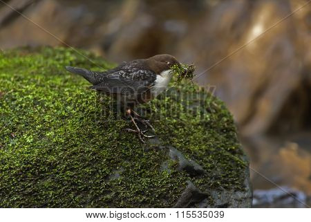 Dipper on a moss covered rock with nesting material